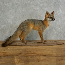 Grey Fox Life-Size Taxidermy Mount For Sale