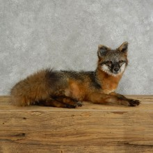 Grey Fox Life-Size Mount For Sale #17045 @ The Taxidermy Store