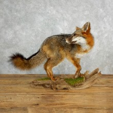 Standing Gray Fox Life-Size Taxidermy Mount For Sale