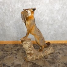 Grey Fox With Squirrel Life-Size Mount For Sale #18888 @ The Taxidermy Store