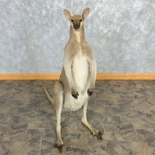 Grey Kangaroo Taxidermy Mount For Sale #22469 @ The Taxidermy Store