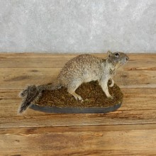 Grey Squirrel Life-Size Taxidermy Mount For Sale