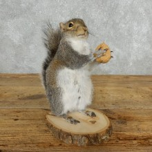 Grey Squirrel Life-Size Mount For Sale #18161 @ The Taxidermy Store
