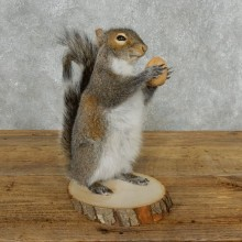Grey Squirrel Life-Size Mount For Sale #18163 @ The Taxidermy Store