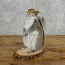 Grey Squirrel Life-Size Mount For Sale #18165 @ The Taxidermy Store