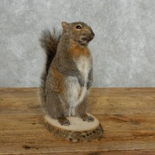 Grey Squirrel Life-Size Mount For Sale #18166 @ The Taxidermy Store