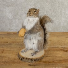 Grey Squirrel Life-Size Mount For Sale #20740 @ The Taxidermy Store