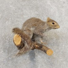 Grey Squirrel Life-Size Mount For Sale #21161 @ The Taxidermy Store