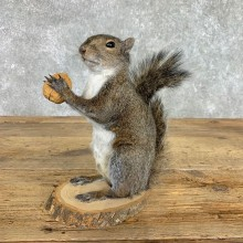 Grey Squirrel Life-Size Mount For Sale #22412 @ The Taxidermy Store