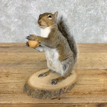 Grey Squirrel Life-Size Mount For Sale #22413 @ The Taxidermy Store