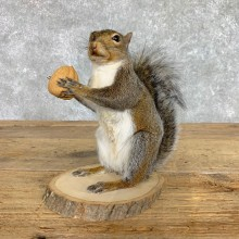 Grey Squirrel Life-Size Mount For Sale #22414 @ The Taxidermy Store