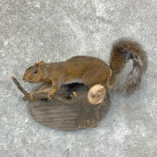 Grey Squirrel Life-Size Mount For Sale #22946 @ The Taxidermy Store