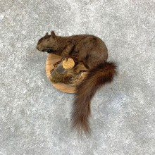 Grey Squirrel Life-Size Mount For Sale #22947 @ The Taxidermy Store