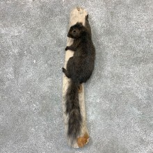 Grey Squirrel Life-Size Mount For Sale #23024 @ The Taxidermy Store