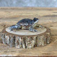 Grey Tree Frog Taxidermy Mount For Sale #21370 @ The Taxidermy Store