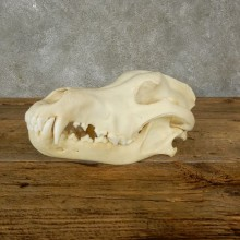 Wolf Skull Mount For Sale #17488 @ The Taxidermy Store