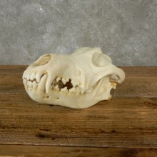 Wolf Skull Mount For Sale #17489 @ The Taxidermy Store