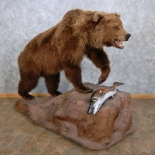 Grizzly Bear w/ Coho Salmon Taxidermy Mount For Sale