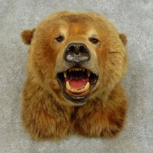 Grizzly Bear Shoulder Mount For Sale #16387 @ The Taxidermy Store
