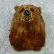 Grizzly Bear Shoulder Taxidermy Head Mount #12721 For Sale @ The Taxidermy Store
