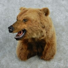 Grizzly Bear Shoulder Taxidermy Mount #12869 For Sale @ The Taxidermy Store