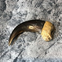 Grizzly Bear Claw For Sale #18810 @ The Taxidermy Store