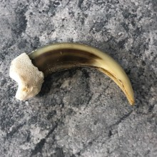 Grizzly Bear Claw For Sale #19911 @ The Taxidermy Store