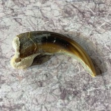 Grizzly Bear Claw For Sale #21872 - The Taxidermy Store