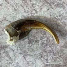 Grizzly Bear Claw For Sale #21875 - The Taxidermy Store