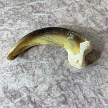 Grizzly Bear Claw For Sale #21881 @ The Taxidermy Store