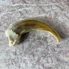 Grizzly Bear Claw For Sale #21883 @ The Taxidermy Store