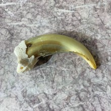 Grizzly Bear Claw For Sale #21884 @ The Taxidermy Store