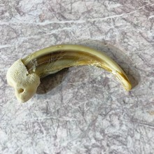 Grizzly Bear Claw For Sale #21906 @ The Taxidermy Store