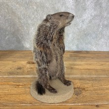 Groundhog Life-Size Mount For Sale #21308 @ The Taxidermy Store