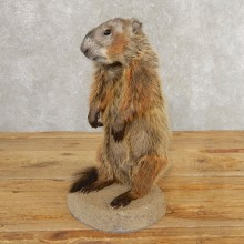 Groundhog Life-Size Mount For Sale #21309 @ The Taxidermy Store