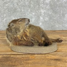 Groundhog Life-Size Taxidermy Mount For Sale