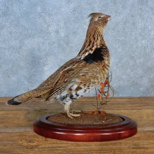 Ruffed Grouse Bird Mount For Sale #15560 @ The Taxidermy Store