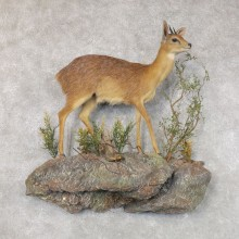 Grysbok Antelope Life Size Taxidermy Mount #22586 For Sale @ The Taxidermy Store
