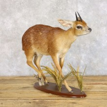 Grysbok Antelope Life Size Taxidermy Mount For Sale #22267 For Sale @ The Taxidermy Store