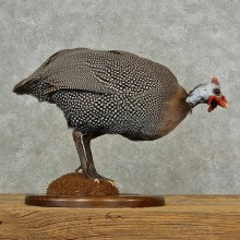 Guineafowl Bird Mount For Sale #16695 @ The Taxidermy Store