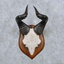 Hartebeest Skull Cap & Horns Mount For Sale #14477 @ The Taxidermy Store