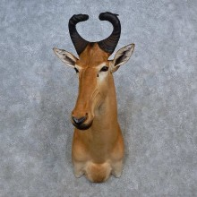 Western Hartebeest Shoulder Mount For Sale #15579 @ The Taxidermy Store