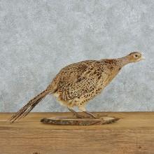 Standing Ringneck Hen Pheasant