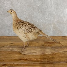 Hen Ringneck Pheasant Bird Mount For Sale #19756 @ The Taxidermy Store
