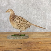 Hen Ringneck Pheasant Bird Mount For Sale #19786 @ The Taxidermy Store