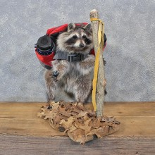 "Novelty ""Hiking"" Raccoon Taxidermy Mount For Sale"