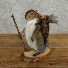 Hiking Grey Squirrel Novelty Taxidermy Mount For Sale