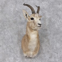 Hillier Goitered Black-tailed Gazelle Shoulder Taxidermy Mount #12464 For Sale @ The Taxidermy Store