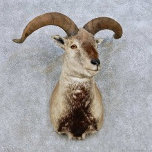 Himalayan Bharal Sheep Shoulder Mount For Sale #14063 @ The Taxidermy Store