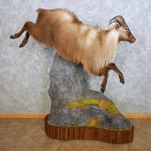 Himalayan Tahr Life Size Mount For Sale #14074 @ The Taxidermy Store